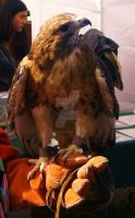Red Tailed Hawk by Pi-ray