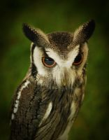 White Faced Scops Owl by twilliamsphotography