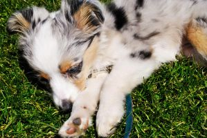 Toy Australian Shepherd by CorLeonisPhotography
