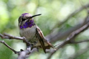 Costa's Hummingbird by LydiaRhianne