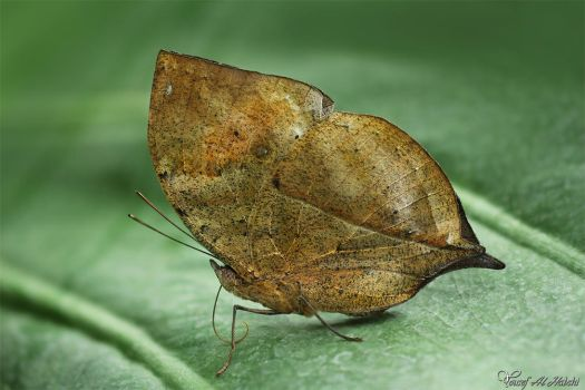 Dead Leaf Butterfly by AlHabshi