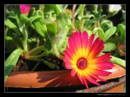 Pink Flower 2 by maurice