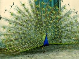 Peacock by Palmix