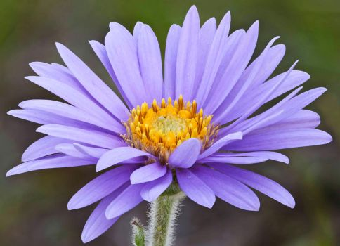 Aster alpinus by rajaced