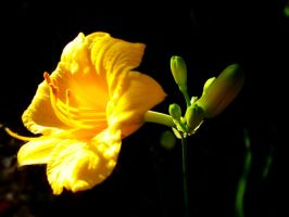 Yellow Flower by Chimmmy