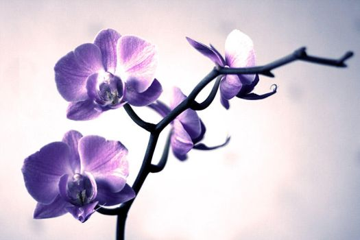 Orchid postcard by Obsessed-by