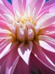 Pink Dahlia by Aurahleth