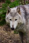 Canis Lupus by Aenea-Jones