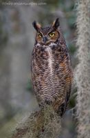 Great Horned Owl by FForns