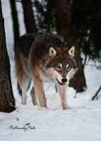 A Young Grey Wolf by PictureByPali