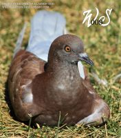 brown pigeon by WildSpirit009
