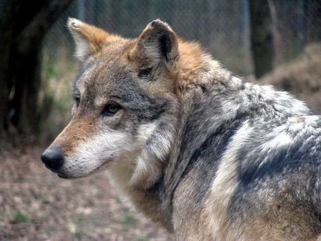 Mexican Wolf 2 by Tailfeathrz