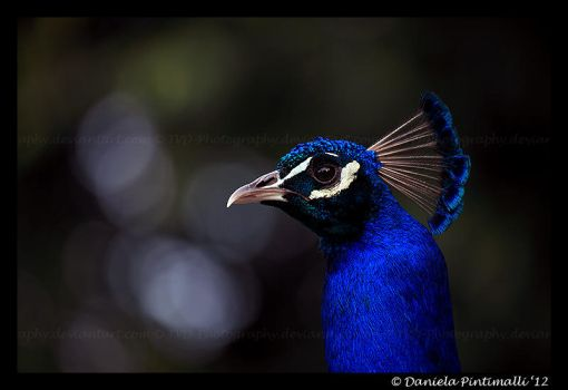 Peacock Profile by TVD-Photography