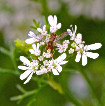 Hover Fly Feeding on Cilantro Flowers by FallOut99