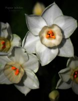 Paper Whites by creativemikey