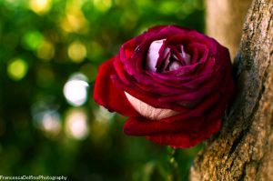 Rose in the woods 2 by FrancescaDelfino