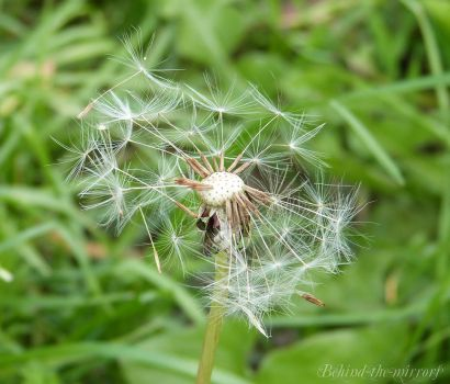 Dandelion by behind-the-mirrors