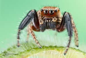 Jumping spider from Colombia by ColinHuttonPhoto
