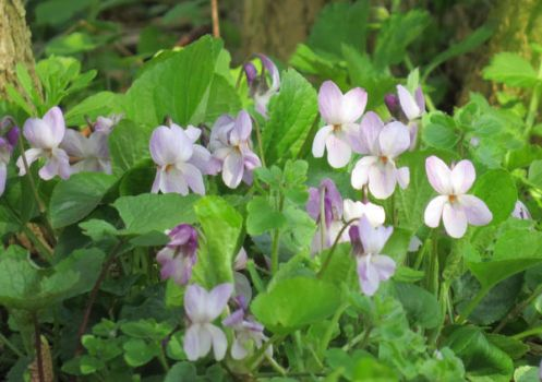 Wild violets by Helens-Serendipity
