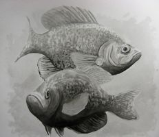 Crappie by bigcas61