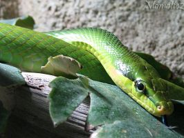 Wise red-tailed ratsnake by Momotte2