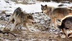 Premium Wolf Stock: 4 by HOTNStock