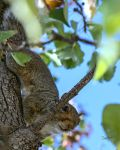 Peekaboo Squirrel detail by CapscesDigitalInk