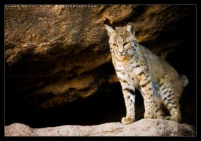 Bobcat: Climb Down? by Flame-of-the-Phoenix