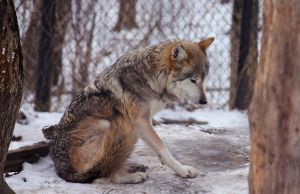 Mexican Wolf Stock 22 by HOTNStock