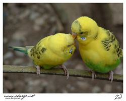 Parakeet 2 by jedro