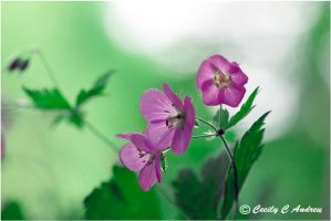 Wild Geranium by CecilyAndreuArtwork
