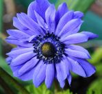 Beautiful Blues 5 by Forestina-Fotos