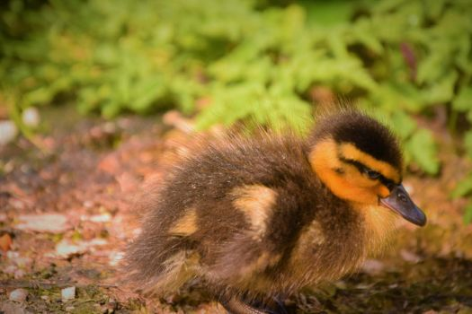 What A Cute Little Duckling This Is by fineartbyandrewdavid