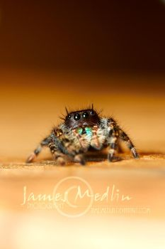 jumping spider 63 by JamesMedlin