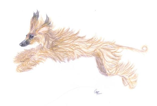 Afghan Hound WC pencil drawing by RoseThistleArtworks
