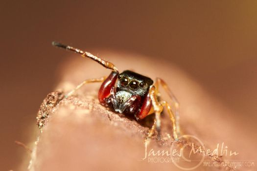 Jumping Spider 67 by JamesMedlin