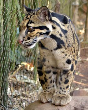 Clouded Leopard Cub by harperking