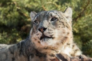 Snow Leopard 5 by EdgedFeather