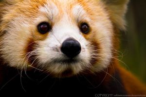 Portrait of a Panda by sekhmet-neseret