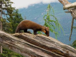 Pine Marten 1 by ShadowsStocks