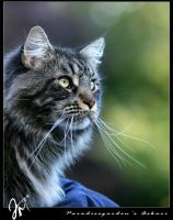 Male Maine Coon cat by kyolein