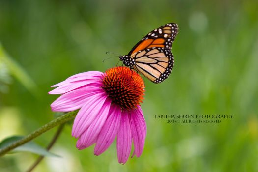 Upon My Favorite Flower by TabithaS-Photography