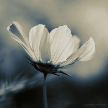 Cosmos by ThierryV