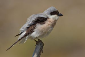 All fluffed up and no-where to go by Jamie-MacArthur