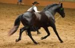 STOCK - 2014 Andalusian Nationals-132 by fillyrox
