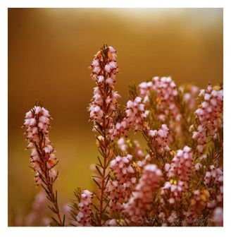 Evening heather by Isselinai