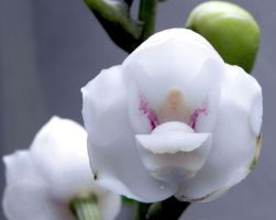 Dove Orchid by Jac888