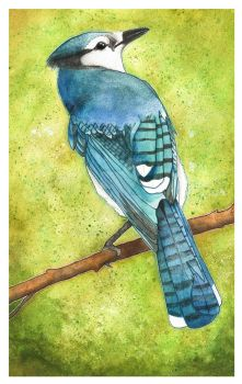 Blue Jay by Izumigee