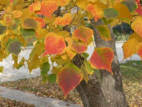 Tallow Tree Leaves by Susan-Snap-Dragon