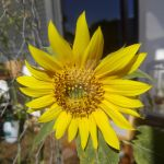 Young Sunflower by engineerJR